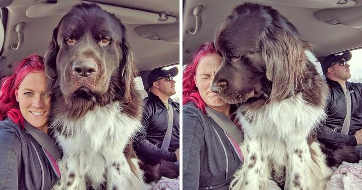 18 אנשים שיתפו תמונות של כלבי הניופאולנד ה-ע-נ-ק-י-י-ם שלהם וזה פשוט בלתי נתפס עד כמה הם גדולים!